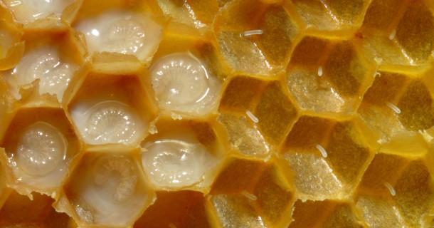 Arı Sütü ve Faydaları Nelerdir ?